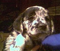 A small, harlequin patterned black and white Golden Retriever/Great Dane mix puppy is being held over the shoulder of a person in a blue shirt.