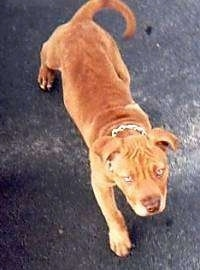 Topdown view of a red-nose American Pit Bull Terrier puppy walking down a blacktop surface and it is looking up.