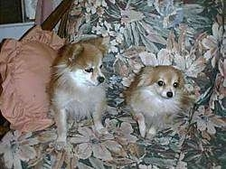 Two tan with white Pomeranians are sitting and laying on a floral couch. The left most dog is looking down and to the right.
