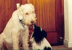 Zekey the Italian Spinone and Sparky the Papillon are greeting each other in front of a wooden door in a house
