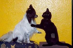 A white and black Papillon dog sitting face to face with a black cat who has its paws on the dog's shoulders