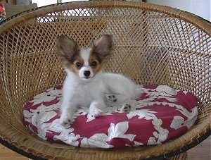 Papillon Puppy Dogs