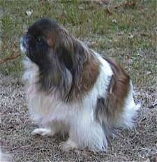 Side view - A barking white and brown with black Pekingese is sitting in grass and it is looking up and to the left.