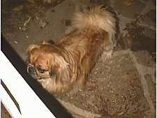 A brown with tan and white Pekingese is standing on a walkway and it is looking to the left through a white gate.