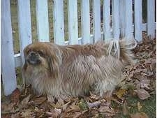 Side view - A brown with tan Pekingese is standing in grass looking forward in front of a white picket fence.
