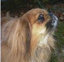 Close up side view head shot - A brown with tan Pekingese is standing in grass. It is actively barking looking up and to the right.