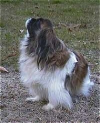 A barking white and brown with black Pekingese is sitting in grass, it is looking up and its head is tilted up.