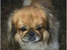 Close up front view head shot - A brown with tan and black Pekingese is standing in grass and it is looking forward.