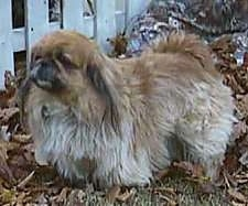 Side view - A tan and brown with black Pekingese dog is standing in grass looking to the left in front of a white picket fence.
