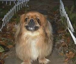 Front view - A barking brown with tan and white Pekingese is standing on a stone walkway at night.