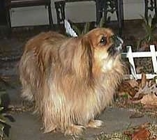Front side view - A barking brown with tan Pekingese is standing on a walkway and it is looking up and to the right.