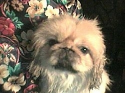 Close up head shot - A white with tan Pekingese is laying against the arm of a chair.