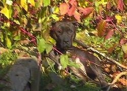 The left side of a black American Pit Bull Terrier that is laying down in a bunch of leaves and it is looking forward.