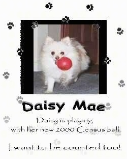 A photo of a Pomeranian with a red ball in its mouth is placed on a flyer. The words - Daisy Mae Daisy is playing with her new 2000 census ball I want to be counted too! - are overlayed.