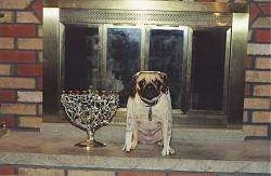 A large fireplace and a tan with black Pug that is wearing a payot and a tallit. To the left of the Pug is a Menorah.