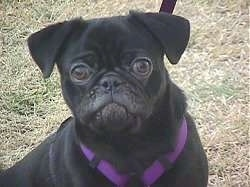 Close up head shot - A black Pug is sitting on brown grass and it is looking up. Its face looks like a monkey.