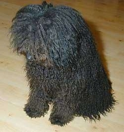 Top down view of a long curly coated black Puli dog that is sitting on a hardwood floor and it is looking down and to the left.