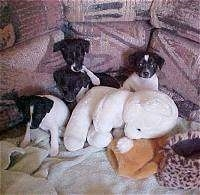 A litter of black and white Rat Terrier puppies are sitting in front of a couch and there is a big white plush bear in front of them.