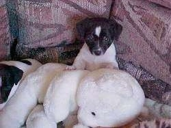 A black and white Rat Terrier puppy is sitting against the back of a couch and there is a big white plush teddy bear in front of it.