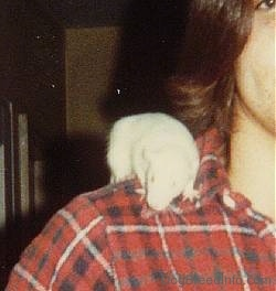 Close up - A white rat is standing on the shoulder of a person looking down towards the floor.