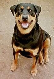 A black and tan Rottweiler is sitting in dirt and it is looking up. Its mouth is open and it looks like it is smiling.