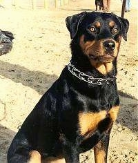 The left side of a black and tan Rottweiler that is sitting in sand, it is looking to the right. Its eyes are golden brown and the dog is wearing a pinch collar.