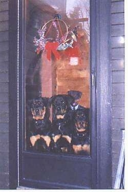 Three black and tan Rottweilers are sitting in front of a glass door and they are looking out of it.