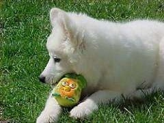Close up - The upper half of a white Samoyed puppy that is chewing on a gree, yellow and orange plush Angry Birds toy.