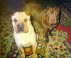 A thick tan Chinese Shar-Pei is sitting on a rug next to a brown Chinese Shar-Pei. They both are looking up. They have slanty eyes and small ears.