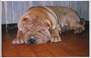 Front side view - A big, thick tan Chinese Shar-Pei dog is sleeping on a tiled floor.