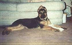 A black and tan German Shepherd is laying in front of a couch, There is a rope toy between its front paws