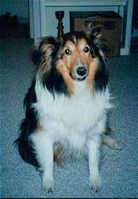 Front view - A black with tan and white Shetland Sheepdog is sitting on a carpet and it is looking forward.