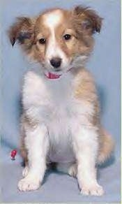 A tan and white Shetland Sheepdog puppy is sitting in front of a blue backdrop and it is looking forward.