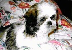Close up side view - A white with black and tan Shih Tzu puppy is laying across a bed and it is looking to the right.