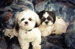 Two Shih Tzus are sitting and laying at the edge of a couch and they are looking up.