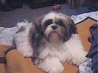 Front view - A long haired, grey and white Shih Tzu puppy is laying on top of a blanket on top of a couch looking up and forward.