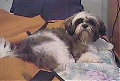 The back side of a long coated, grey and white Shih Tzu puppy is laying on a bed and it is looking forward.