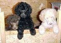 Three Standard Poodle puppies jumped up against the side of a wooden box. One dog is brown, one is black and the last puppy is white.