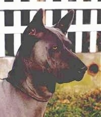 The front right side of a black Thai Ridgeback that is standing outside in grass and it is looking to the right. The dog has light gray eyes, perk ears, a black nose, extra skin on its neck and a square looking snout.