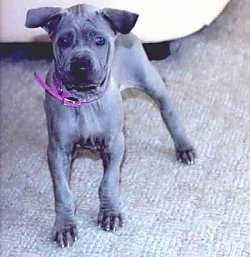 A short haired, extra skinned, wrinkly, gray Thai Ridgeback puppy standing on a carpet and behind it is a couch. It is facing the camera. The pups ears fold forward.
