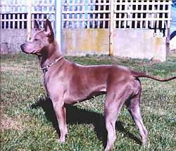 The left side of a brown Thai Ridgeback dog that is standing across a grass surface. Its tail is level with its back.