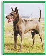 The front left side of a gray Thai Ridgeback dog standing across a grass surface, it is panting and it is looking to the left. The dogs tail is up and it has pointy perk ears and a line down its back.