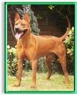 The front left side of a red Thai Ridgeback dog standing across a grass surface, its mouth is open, its tongue is out and it is looking to the left. It has a short coat, a line down its back, perk ears, a black nose and black lips.