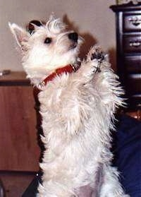 A West Highland White Terrier is standing on its hind legs on a bed.