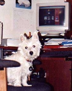 The right side of a West Highland White Terrier that is sitting on a computer chair and looking forward.