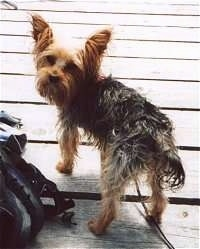 The back left side of a scruffy looking black with brown Yorkshire Terrier that is standing on a wooden porch. It is looking back. The dog has large perk ears with fringe hair coming from them.