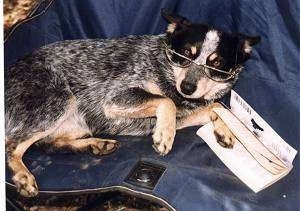 A black with grey and tan Heeler dog is laying on a blue blanket on a human's bed wearing a pair of reading glasses. One of its paws is in between an open book.