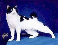 Hanna the Japanese Bobtail Longhair is standing in front of a blue backdrop, on a blue stand. It is looking to the right with its left back leg extended all the way out