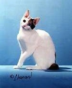 Lolita the Japanese Bobtail Shorthair is sitting on a blue stand, in front of a blue backdrop. Its head is tilted to the left.