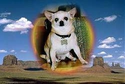 A Picture of Bj the Chihuahua sitting in a room is photoshopped over top of a photo of the desert with buildings in the distance